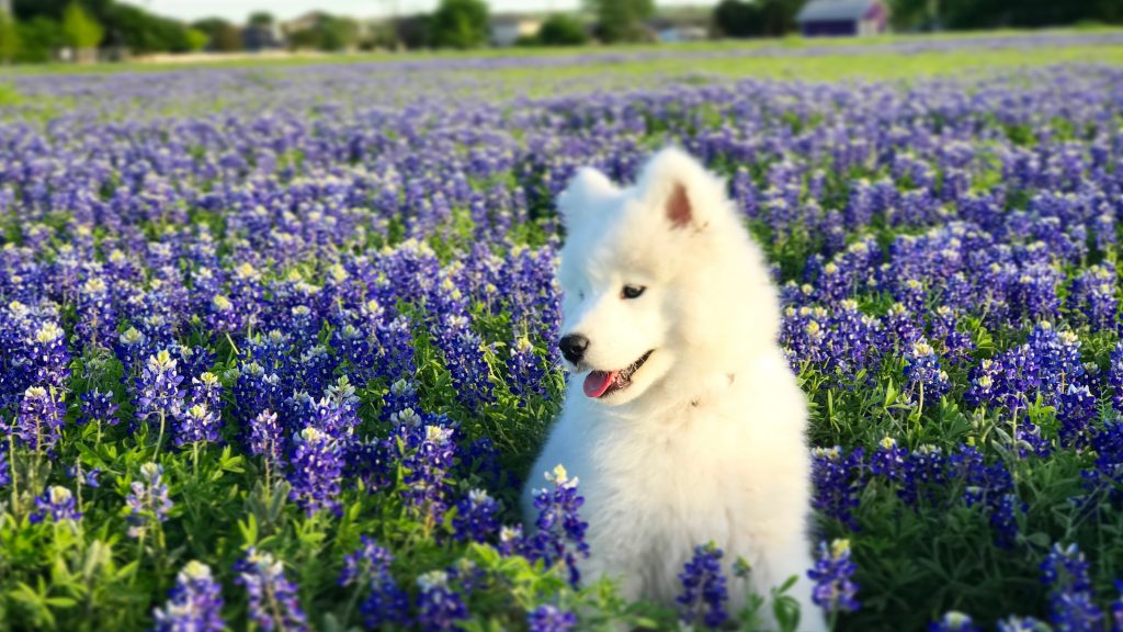 Aster in the Bluebonnets. March 2018.